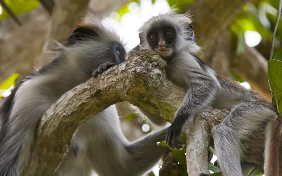 bébé singe Zanzibar