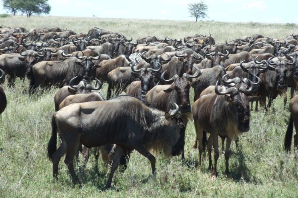 Ñus en Tanzania