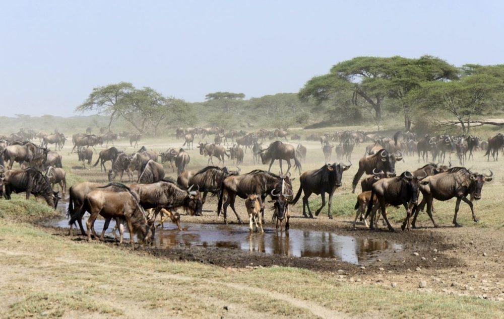 Migration Gnous Tanzanie